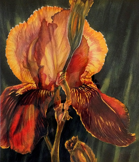 Sun on the Iris – Image © Susan Bartel. All Rights Reserved.