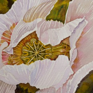 Breadseed Poppy – Image © Susan Bartel. All Rights Reserved.