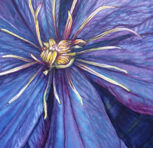 Clematis – Image © Susan Bartel. All Rights Reserved.