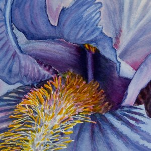 Old Fashioned Iris – Image © Susan Bartel. All Rights Reserved.