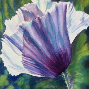 White Poppy - Image © Susan Bartel. All Rights Reserved
