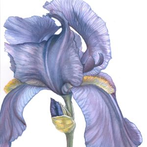 Iris Line Dance – Image © Susan Bartel. All Rights Reserved.