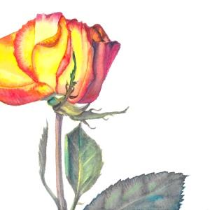 RoseBud-4